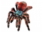 Buy a n Antilles pink toe  tarantula