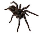 Tarantulas for Sale - Internet's Largest Selection