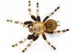 Buy a Brazilian red and white tarantula