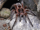 Buy Chilean copper tarantula