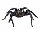 Buy a Cobalt Blue Tarantula