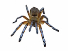 Buy a Golden blue leg baboon tarantula
