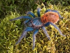 Buy a Greenbottle Blue tarantula