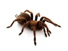 Buy a Haitian Brown tarantula