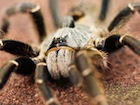Buy a Horned Baboon tarantula