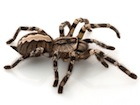 Buy an Indian ornamental tarantula