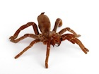 Buy King Baboon tarantula
