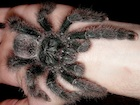 Buy a Metallic Pink Toe Tarantula