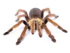 Buy a Mexican Curlyhair tarantula