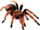 Buy a Mexican Fireleg Tarantula