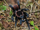 Buy a Mexican Red Rump tarantula