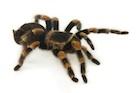 Buy a Mexican Redknee Tarantula