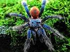 Buy a Brazilian Blue Dwarf tarantula