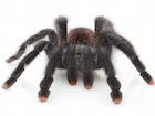 Buy a Pink Toe Tarantula