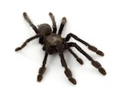 Buy Singapore Blue tarantula