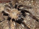Buy a Skeleton Leg Tarantula