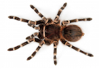 Buy a Striped knee tarantula