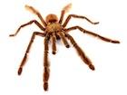 Buy a Trinidad Chevron tarantula