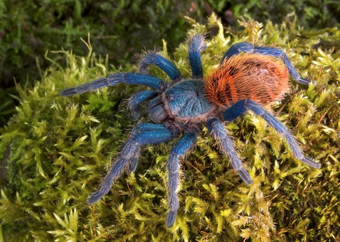Greenbottle Blue tarantula for sale