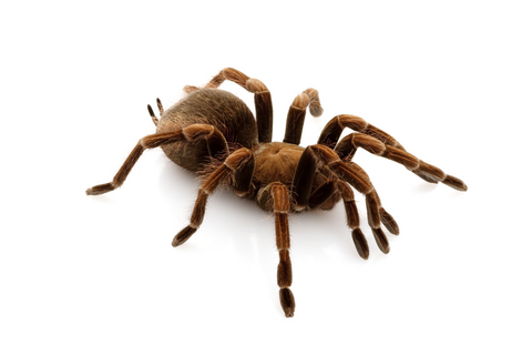 Haitian Brown tarantula for sale - Phormictopus cancerides