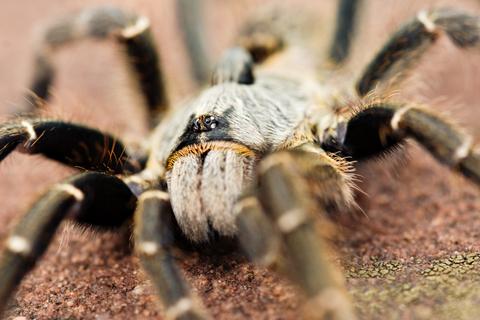 Horned Baboon tarantula for sale
