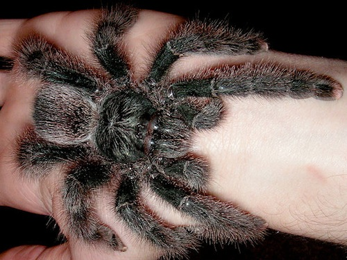 Metallic Pink Toe tarantula for sale