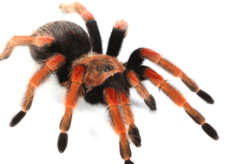 Mexican Fireleg tarantula for sale