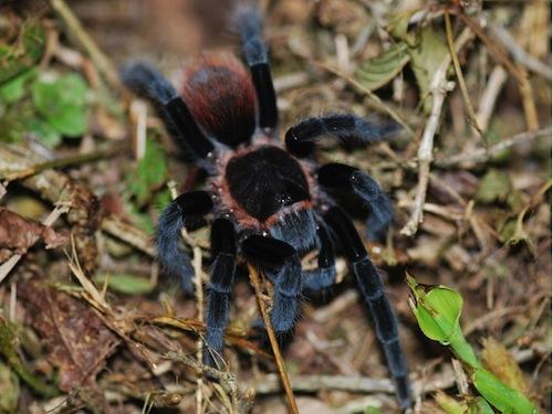 Mexican Red Rump tarantula for sale