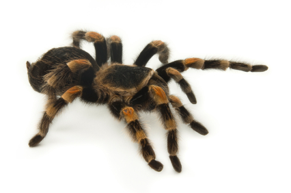 Mexican Redknee Tarantula for Sale | Reptiles for Sale