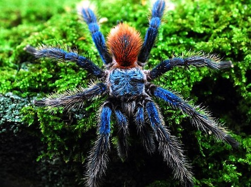 Brazilian Blue Dwarf tarantula for sale