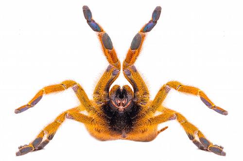 Orange Baboon tarantula for sale - Pterinochilus murinus