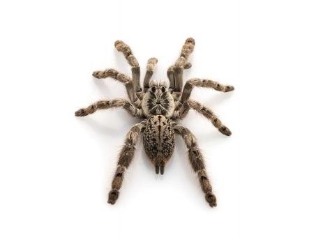 Ornamental Baboon tarantula for sale
