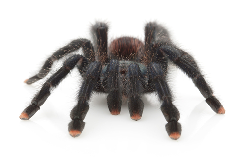 Pink Toe tarantula for sale