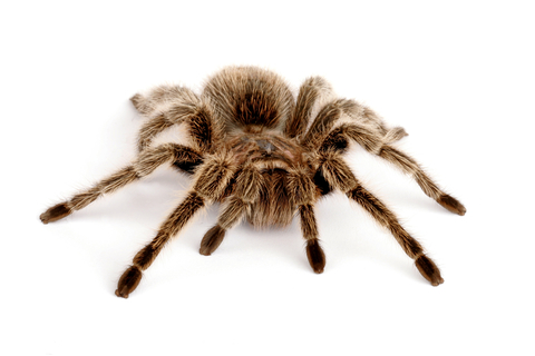 Rose Hair Tarantula for Sale | Reptiles for Sale