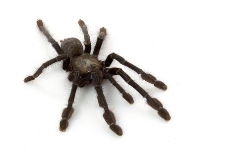 Singapore Blue tarantula for sale