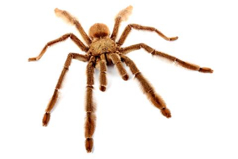 Trinidad Chevron tarantula for sale - Psalmopoeus cambridgei