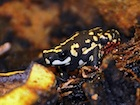 Buy Bumble Bee Toad