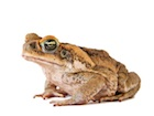 Buy Cane Toad