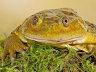 Buy a Chilean Wide Mouthed Toad