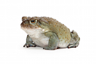 Buy Colorado River toad