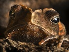 Buy Crested Toad