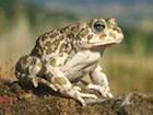 Buy Egyptian Toad