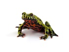 Buy Fire Bellied Toad