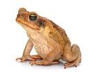 Buy Giant Marine Toad
