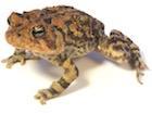Buy Oak Toad