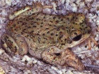 Buy Red Spotted Toad