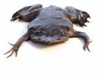 Buy Pipa pipa Toad