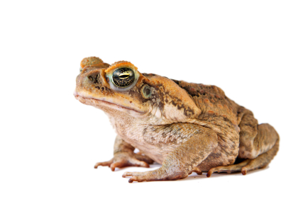 Cane Toad for sale