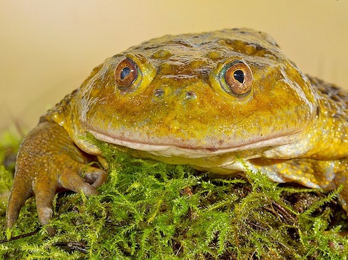 Chilean Wide Mouthed Toad for sale - Calyptocephalella gayi