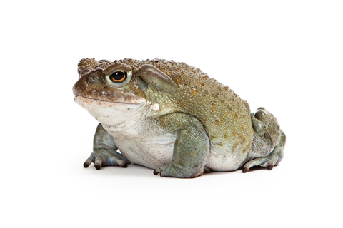 Colorado River Toad for sale